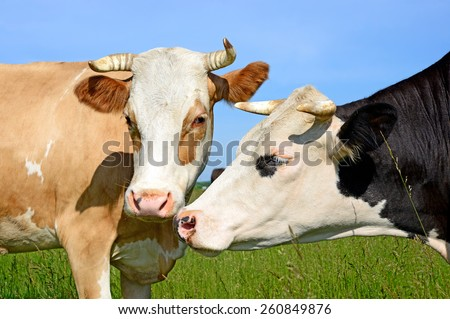 Heads of cows against a pasture - stock photo