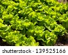 Heads of fresh bright green Lactuca sativa lettuce grow in ground in rows, agriculture leaves detail in Poland. Horizontal orientation, nobody. - stock photo
