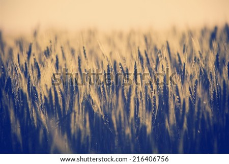 Heads of golden grain stretch out in fields at sundown with Instagram style filter - stock photo