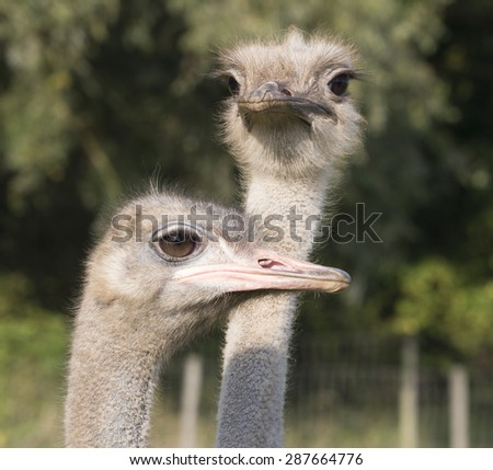 Heads of two emu or ostriches, large flightless birds farmed for their meat and feathers, one in profile, one frontal - stock photo