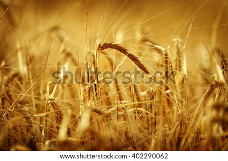 Heads of wheat grain with field in background - stock photo