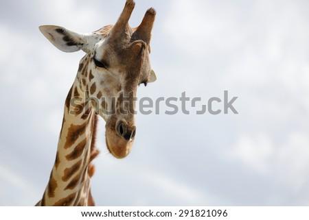 Headsahot of a giraffe - stock photo