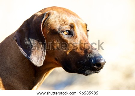 headshot dog rhodesian ridgeback with sleepy eyes
