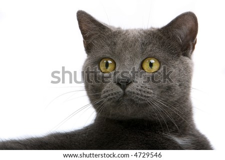 headshot of a Grey British Short-haired cat