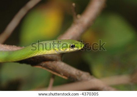 Headshot of a rough green snake climbing in a small tree.