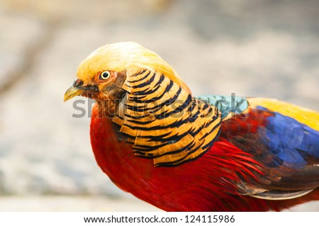 Headshot of colorful Golden Pheasant (Chrysolophus pictus) - stock photo