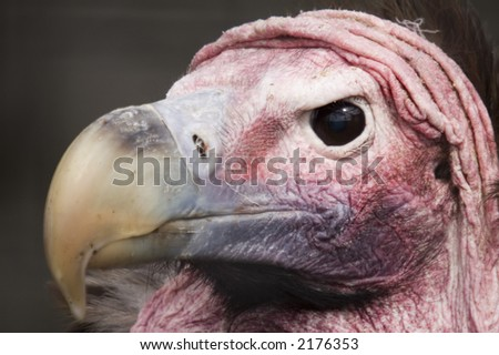 Headshot of Lappet Faced Vulture (torgos tracheliotus) looking at viewer - stock photo