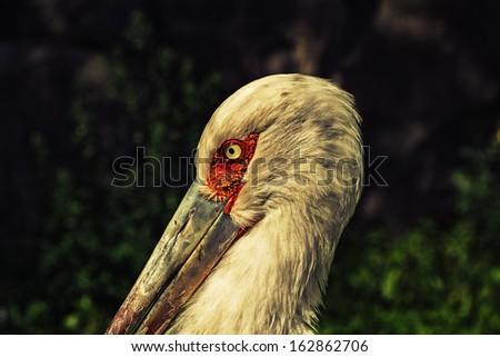 Headshot of pelican - stock photo