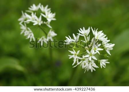 Healing Allium ursinum - stock photo