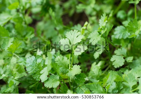 Health benefits of coriander. Coriander is loaded with antioxidants