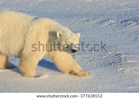 Healthy adult polar bear walking on the tundra in the arctic with eyes closed, and sniffing the air. - stock photo