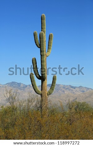 Healthy and old Saguaro Cactus in the Saguaro National Park East - stock photo