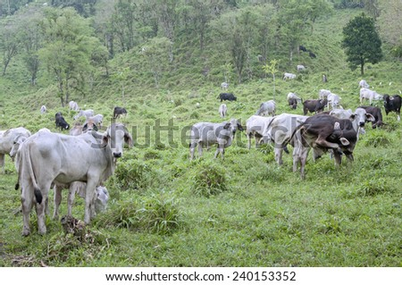Healthy cows roam and graze on hilly lush pastures in Chiapas, Mexico - stock photo