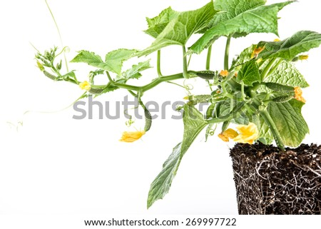 healthy development of roots and above-ground parts of the plant cucumber soil on white background. ��� Growing cucumbers: planting, care, feeding, varieties - stock photo
