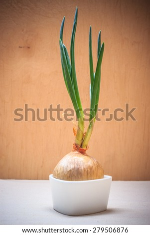 Healthy edible plant. Onion bulb with chives fresh sprout, vegetable food new green burgeons grow in home. - stock photo