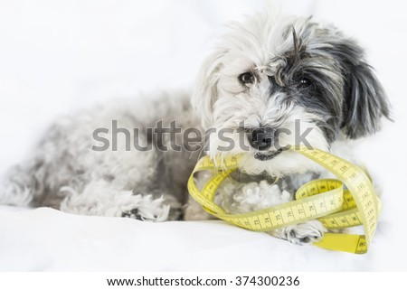 healthy hungry poodle dog biting yellow measuring tape on a white background - stock photo