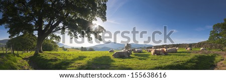 Healthy livestock enjoying the early morning sunlight, dry stone wall and gently rolling mountains in the background, Lake District, UK. Perspective corrected panorama detailed when viewed large. - stock photo