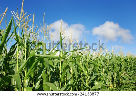 healthy maize on the field against blue sky - stock photo