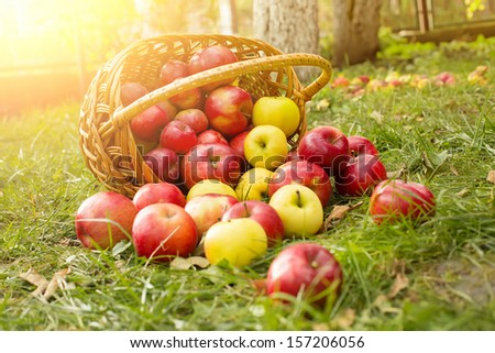 Healthy Organic Apples in the Basket on green grass in sunshine - stock photo