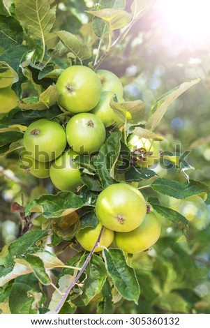 Healthy Organic Green Apples on a Branch, Outdoors, Selective Focus. - stock photo