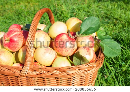 Healthy organic red  juicy apples in basket. Harvesting in orchard . - stock photo