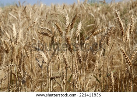Healthy wheat fields in Washington State in the summer - stock photo