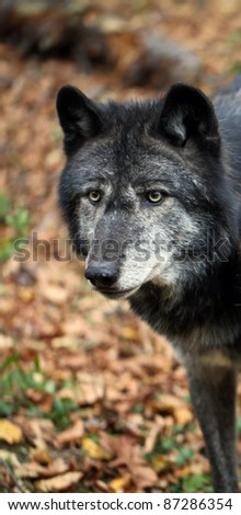 Healthy wild wolf in the woods