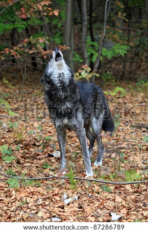Healthy wild wolf in the woods, howling - stock photo