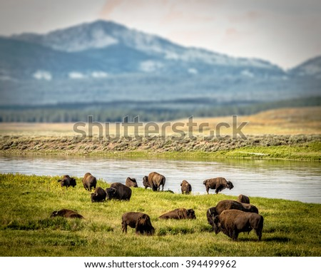 Heard of Buffalo at Yellowstone National Park - stock photo