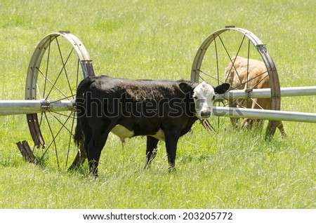 Heard of mixed breed beef steers on a small ranch in the Umpqua Valley in Oregon - stock photo