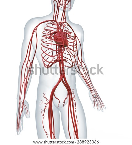 heart and cardiovascular circulatory - stock photo