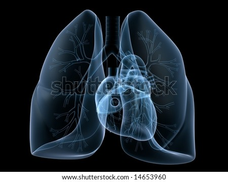 heart and lung - stock photo