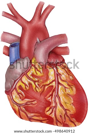 Heart Human Anterior View Showing Coronary Stock Illustration