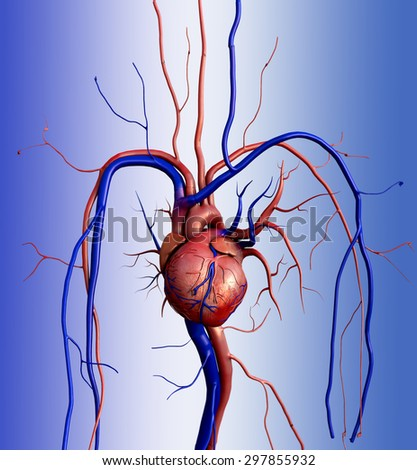 Heart model, Full clipping path included, Human heart for medical study, Human Heart Anatomy