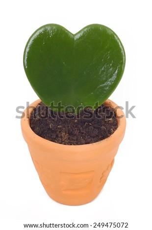 Heart shaped cactus isolated on white background. - stock photo