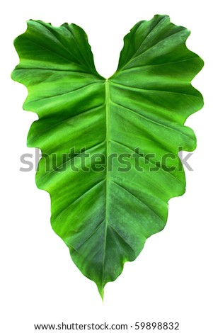 heart shaped leaf on white - stock photo