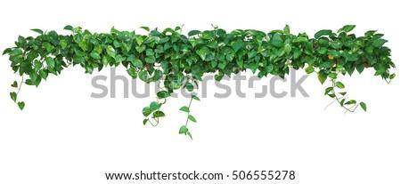 Heart shaped leaves vine devils ivy stock photo download now heart shaped leaves vine devils ivy golden pothos isolated on white background mightylinksfo