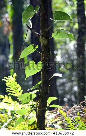 Heart shaped vine leaves in an Australian rainforest - stock photo