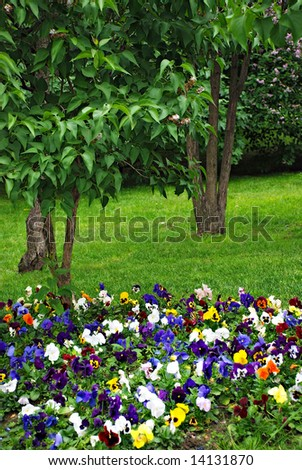 Heartsease, flower garden - stock photo