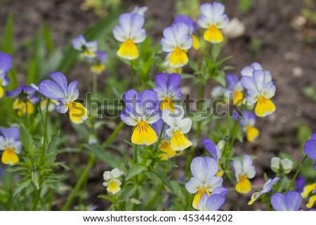 Heartsease (Viola tricolor), flowered in a garden