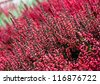 Heather flowers blossom in autumn - stock photo