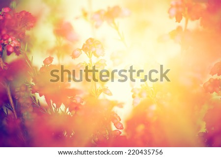 Heather flowers on a fall, autumn meadow in shining settng sun that gives warm mood. Vintage retro style. - stock photo