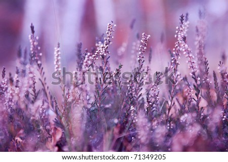Heather impression. Moorland at the forest clearing. - stock photo