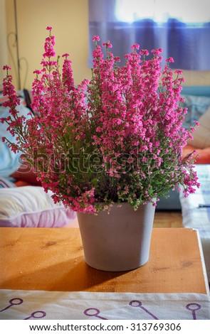 Heather in a pot (Calluna vulgaris) - stock photo