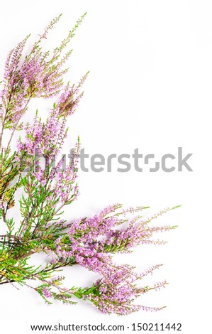 Heather on the white background - stock photo
