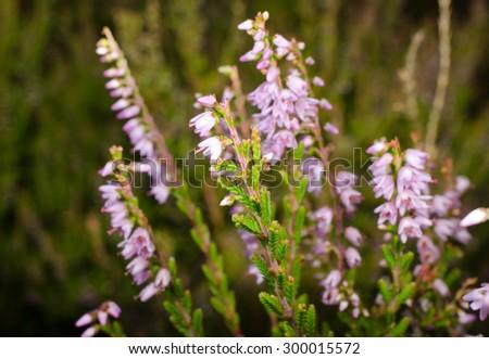 heather starts to bloom - stock photo