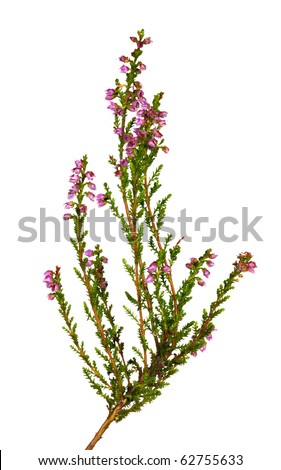 heather with pink flowers isolated on white background - stock photo