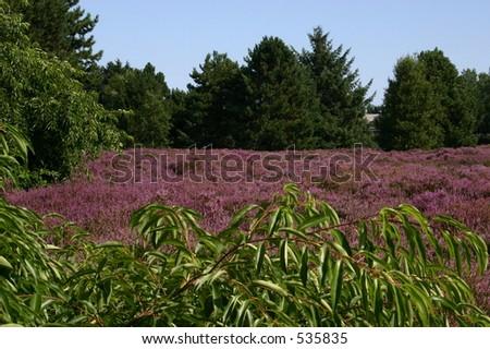 heathland - stock photo