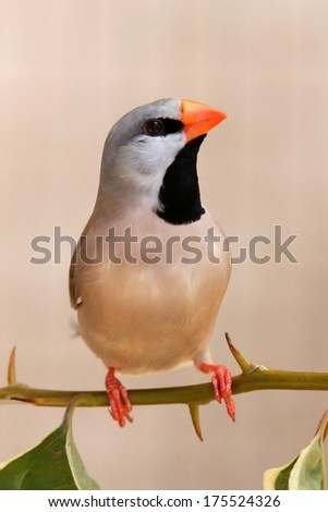 Heck's Grassfinch bird perched on a leafy twig - stock photo