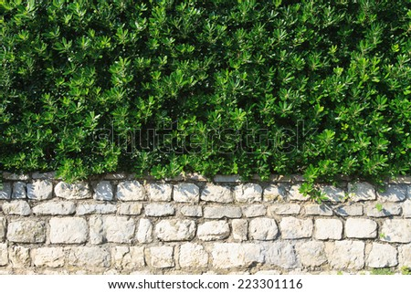 hedge evergreen shrub in the landscape design closeup horizontal   - stock photo
